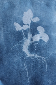 plant from around cabin - cyanotype